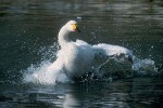 Tundra Swan/Cygnus columbianus - Photographer: Sergey Panayotov