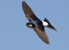 Northern House-martin/Delichon urbicum, Family Swallows, Martins