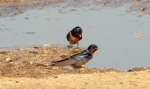 Barn Swallow/Hirundo rustica, Family Swallows, Martins