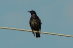 Common Starling/Sturnus vulgaris, Family Starlings