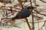 Family Nuthatches, Wood Nuthatch/Sitta europaea - Photographer: Георги Петров