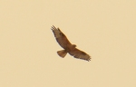 Long-legged Buzzard/Buteo rufinus, Family Hawks