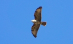 Family Hawks, Common Buzzard/Buteo buteo