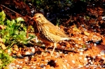 Song Thrush/Turdus philomelos, Family Thrushes