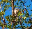 Spotted Flycatcher/Muscicapa striata - Photographer: Иван Пандъков
