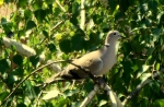 Eurasian Collared-dove/Streptopelia decaocto, Family Pigeons, Doves