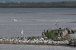 Family Gulls, Terns, Sandwich Tern/Sterna sandvicensis