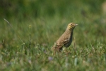 Tawny Pipit/Anthus campestris, Family Pipits, Wagtails