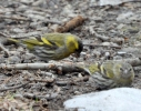 Family Finches, Eurasian Siskin/Carduelis spinus - Photographer: Весела Банова