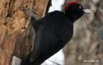 Black Woodpecker/Dryocopus martius - Photographer: Весела Банова