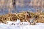 Fieldfare/Turdus pilaris - Photographer: Теодора Койнова