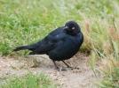 Brewer's Blackbird/Euphagus cyanocephalus, Family Icterids