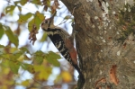 Family Woodpeckers, White-backed Woodpecker/Dendrocopos leucotos - Photographer: Весела Банова