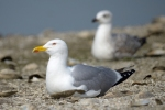 Family Gulls, Terns, Yellow-legged Gull/Larus michahellis - Photographer: Frank Schulkes