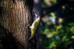 Family Woodpeckers, Eurasian Green Woodpecker/Picus viridis - Photographer: Иван Павлов