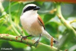 Red-backed Shrike/Lanius collurio - Photographer: Велизара Нашкова