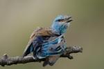 European Roller/Coracias garrulus - Photographer: Frank Schulkes