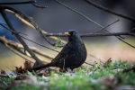 Family Thrushes, Eurasian Blackbird/Turdus merula - Photographer: Иван Павлов