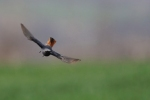 Black Redstart/Phoenicurus ochruros, Photographer Теодора Койнова