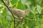 Family Pigeons, Doves, Eurasian Collared-dove/Streptopelia decaocto - Photographer: Стефан Стефанов