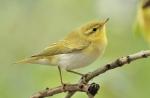 Family Warblers , Wood Warbler/Phylloscopus sibilatrix - Photographer: Иван Петров