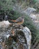 Common Redstart/Phoenicurus phoenicurus - Photographer: Иван Петров