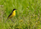 Yellow Wagtail/Motacilla flava - Photographer: Теодора Койнова