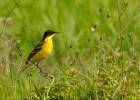 Yellow Wagtail/Motacilla flava - Photographer: Теодора Койнова