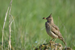 Crested Lark/Galerida cristata, Family Larks