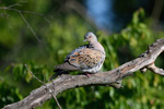 Family Pigeons, Doves, European Turtle-dove/Streptopelia turtur - Photographer: Frank Schulkes