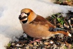 Family Finches, Hawfinch/Coccothraustes coccothraustes