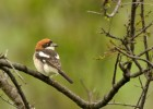 Woodchat Shrike/Lanius senator - Photographer: Теодора Койнова
