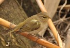 Common Chiffchaff/Phylloscopus collybita - Photographer: Теодора Койнова
