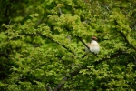 Woodchat Shrike/Lanius senator - Photographer: Frank Schulkes