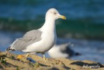 Yellow-legged Gull/Larus michahellis - Photographer: Велизара Нашкова