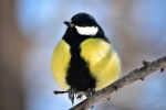 Great Tit/Parus major, Family Tits
