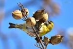 Family Finches, Eurasian Siskin/Carduelis spinus - Photographer: Лилия Василева