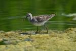 Grey Plover/Pluvialis squatarola - Photographer: Frank Schulkes