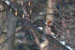 Hawfinch/Coccothraustes coccothraustes - Photographer: Лилия Василева