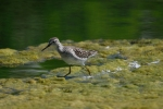 Family Plovers, Grey Plover/Pluvialis squatarola - Photographer: Frank Schulkes