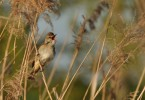 Great Reed-warbler/Acrocephalus arundinaceus - Photographer: Теодора Койнова