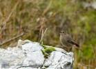 Black Redstart/Phoenicurus ochruros - Photographer: Николай Димитров