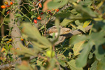Family Woodpeckers, Eurasian Wryneck/Jynx torquilla