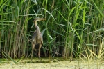 Purple Heron/Ardea purpurea, Family Herons, Bitterns
