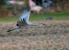 Sandhill Crane/Grus canadensis, Family Cranes