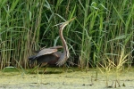 Family Herons, Bitterns, Purple Heron/Ardea purpurea - Photographer: Frank Schulkes