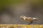Northern Wheatear/Oenanthe oenanthe - Photographer: Frank Schulkes