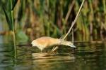 Squacco Heron/Ardeola ralloides - Photographer: Frank Schulkes