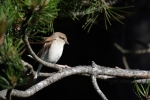 Red-backed Shrike/Lanius collurio - Photographer: Frank Schulkes