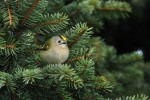 Family Kinglets, Goldcrest/Regulus regulus - Photographer: Емил Иванов